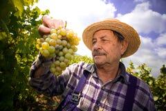 Wijnhandelaar die druiven onderzoekt stock afbeeldingen