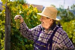 Wijnhandelaar die druiven onderzoekt royalty-vrije stock foto's