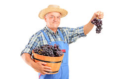 Wijnhandelaar die een mandhoogtepunt van druiven houdt stock fotografie