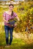 Wijnhandelaar in wijngaard stock foto