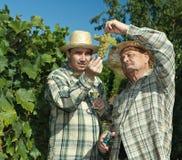 Wijnhandelaren die druiven onderzoeken Stock Foto's
