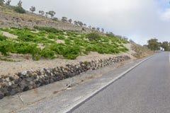 Wijninstallaties die naast de weg in Santorini groeien Stock Afbeelding