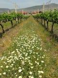 Wijnmakerij Xinomavro in de wijngaarden Griekenland Royalty-vrije Stock Foto's
