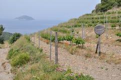 Wijnmakerijassyrtiko in de wijngaarden Griekenland Stock Afbeelding