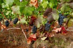 Wijnmakerijwijnstokken met druiven Stock Afbeelding