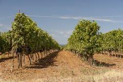 Wijnrangen in Toscanië Stock Foto's