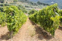 Wijnrangen in Toscanië Stock Afbeeldingen