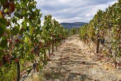 Wijnroute door steile wijngaard op wijnbouwgebied stock foto's