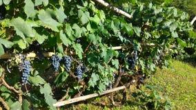 wijnstok stock foto's