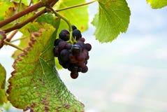 wijnstok Stock Afbeeldingen