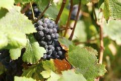 wijnstok royalty-vrije stock foto's
