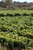 Wijnstok 2 Stock Afbeeldingen