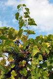 wijnstok Royalty-vrije Stock Afbeelding
