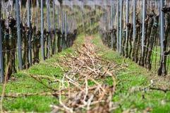Wijnstok bij de lente Stock Afbeeldingen
