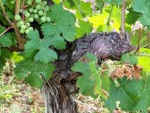 Wijnstok, close-up op een wijnstokvoorraad stock afbeelding