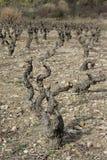 Wijnstok in Corbieres, Frankrijk Stock Fotografie