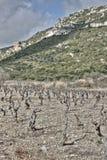 Wijnstok in Corbieres, Frankrijk Royalty-vrije Stock Foto