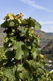Wijnstok in de de herfstZon Stock Foto