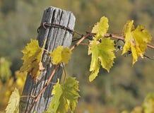 Wijnstok in de Herfst royalty-vrije stock afbeelding