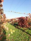 Wijnstok in de herfst Wijngaard in Italië stock fotografie