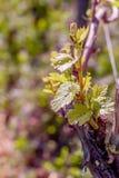 Wijnstok in de lente Jonge groene bladeren op een oude Franse wijnstok Wijngaardenlandbouw in de lente Gestemd beeld Zachte nadru royalty-vrije stock afbeeldingen