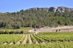 Wijnstok dichtbij van Narbonne in Frankrijk stock afbeeldingen