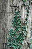 Wijnstok die een boom beklimt Royalty-vrije Stock Foto's