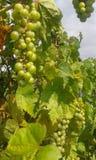 Wijnstok - edele wijnstok (Vitis vinifera) Stock Foto's