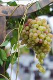Wijnstok in een wijngaard Royalty-vrije Stock Afbeeldingen