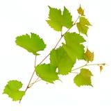Wijnstok en bladeren Royalty-vrije Stock Afbeeldingen
