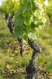 Wijnstok en bladeren van wijnstok Royalty-vrije Stock Fotografie
