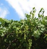 Wijnstok en Druiven Stock Foto's