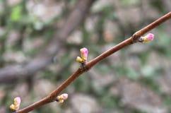 Wijnstok en druivenknoppen, close-up, de lenteachtergrond Stock Foto