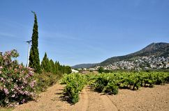 Wijnstok in het gebied van Rozen in Spanje Royalty-vrije Stock Foto
