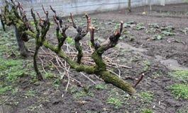 Wijnstok-installatie in een tuin royalty-vrije stock foto