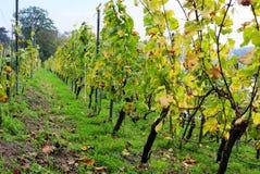 Wijnstok in Lingner kasteel-Dresden Royalty-vrije Stock Foto