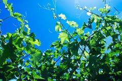 Wijnstok met blauwe hemel royalty-vrije stock fotografie