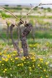 Wijnstok met bloem bij zomer, Pfalz, Duitsland Royalty-vrije Stock Fotografie