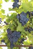 Wijnstok met bossen van donkere druiven op een lichte achtergrond royalty-vrije stock foto's
