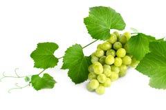 Wijnstok met een bos van druiven op een witte achtergrond Stock Fotografie