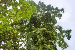 Wijnstok met Grote Groene & Gele Bladeren die Boom beklimmen Royalty-vrije Stock Fotografie
