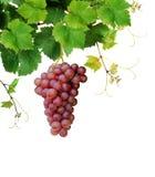 Wijnstok met rijpe roze druivencluster Stock Foto's