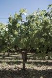 Wijnstok in Napa-Vallei Californië stock afbeelding
