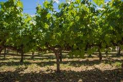 Wijnstok in Napa-Vallei Californië stock afbeeldingen