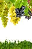 Wijnstok op witte achtergrond Royalty-vrije Stock Fotografie