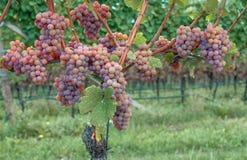 Wijnstok, Tramin, Route van de zuiden de Tiroolse Wijn, Italië Royalty-vrije Stock Foto