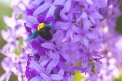 Wijnstok van de Beautyful bloeit de purpere kroon of de wijnstok van de koningin` s kroon op bl Royalty-vrije Stock Afbeeldingen