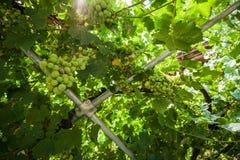 Wijnstok van druiven onderworpen aan een metaalstructuur royalty-vrije stock foto's