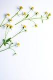 Wijnstok van witte grasbloemen op wit Stock Foto