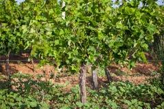 Wijnstok Vranec Stock Foto's